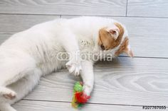 """Scarica l'immagine Royalty Free  """"Red and white cat playing with toy mouse"""" creata da Rossella al miglior prezzo su Fotolia . Sfoglia la nostra banca di immagini online per trovare la foto perfetta per i tuoi progetti di marketing a prezzi imbattibili!"""