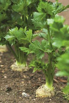 ZELER vsetko siatie, pestovanie, skodcovia, choroby, dobre rady Planting Seeds, Country Life, Parsley, Aloe Vera, Celery, Farmer, Fields, Flora, Herbs