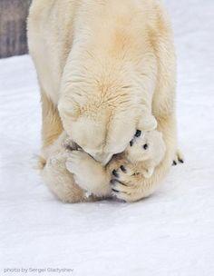 Polar bear mom and cuddly cub Cute Baby Animals, Animals And Pets, Funny Animals, Wild Animals, Animals Kissing, Tier Fotos, My Animal, Stuffed Animals, Animal Photography