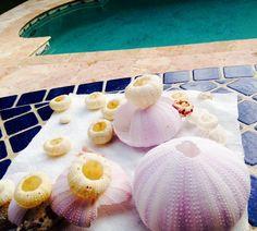 sea urchin sea shells // snorkeling