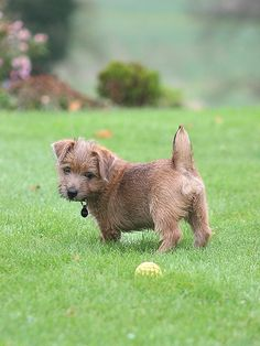 Some Helpful Ideas For Training Your Dog. Loving your dog does not mean you are willing to let him go hog wild on your possessions. That said, your dog doesn't feel the same way. I Love Dogs, Cute Dogs, Norfolk Terrier Puppies, Westminster Dog Show, Patterdale Terrier, Norwich Terrier, Dog Names, Training Your Dog, Dog Mom