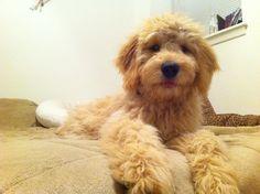 #Goldendoodles #goldendoodle #golden #doodle #puppy #fluffy #tongue #floorbed #adorable #monty