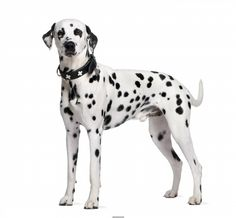 Poster of Dalmatian, 2 years old, standing in front of white background, Dogs Posters, #poster, #printmeposter, #mousepad, #tshirt