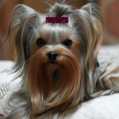 """Visit our site for more details on """"Yorkshire terriers"""". It is an outstanding ar… Visit our site for more details on """"Yorkshire terriers"""". It is an outstanding area to read more. Perros Rat Terrier, Perros Yorkshire Terrier, Yorkshire Terrier Haircut, Fox Terriers, Yorshire Terrier, Boston Terrier, Yorkies, Yorkie Puppy, Cutest Animals"""
