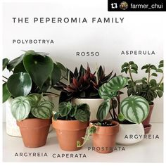 Farmer_Chui Wonderful Work From My Talented But Ever So Slightly Obsessed Gf Our Peperomia Family We Love Their Almost Succulent Like Leaves And The Distinct Inflorescence. They Arent Fussy Either And Very Easy To Propagate. Easy House Plants, House Plants Decor, Plant Decor, Indoor Garden, Garden Plants, Indoor Plants, Peperomia Plant, House Plant Care, Plants Are Friends