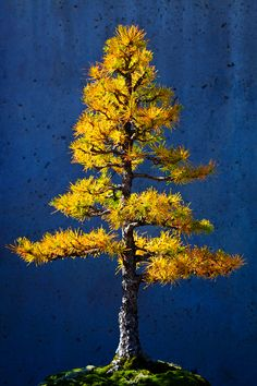 tree arboretum | Larch Tree Bonsai, North Carolina Arboretum, Asheville, North Carolina ...