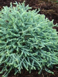 Thuja Pancake/ sold others of this family they are larger and different colors but all are soft and a great addition to a well rounded landscape.