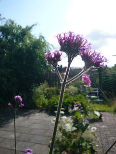 Verbena Bonariensis. Oftewel ijzerhard. Check voor meer foto's ivyandlily.nl