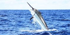 black marlin jumps behind the charter boat KEKOA. My first Squidoo info page about Cairns marlin fishing. Enjoy!