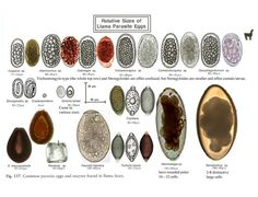 Image result for identify intestinal paracite eggs