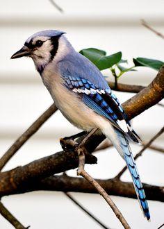 Blue Jay | Flickr - Photo Sharing! Blue Jay Bird, Bird Feathers, Beautiful Birds, Backyard, Cincinnati, Ohio, Basement, Favorite Things, Happiness