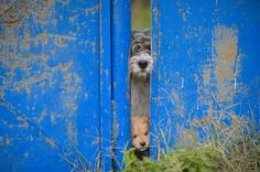 A stray dog and a puppy peer from behind a fence in Bucharest, Romania, on October 20, 2016. The stray dog population of the Romanian capital numbers above 60 thousand, according to city hall sources. #