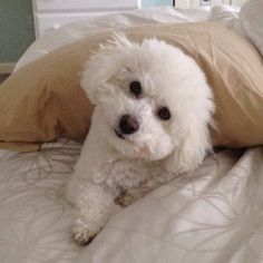 Good morning!  Bichon Frise!!                              …