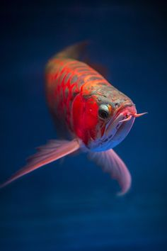 Arwana Fish ~ Photography by Graft Ardhi on 500px.