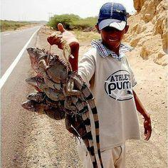 """@Regrann from @glamyrlanz -  @Regrann from @conbive: Ahora que estamos en semana santa aumenta la cantidad de vendedores de fauna silvestre en las carreteras de nuestro país solo porque a algunas personas les parece buena idea tener a estos animales como mascota la verdad que no es muy buena idea y te vamos a decir por qué.  Entre los animales más traficados figuran las aves y los monos como el araguato o el capuchino. Para que un """"monito"""" pueda llegar a tus manos varios de los integrantes…"""