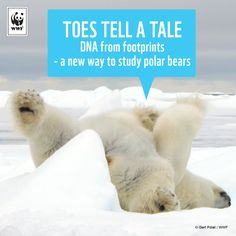 These toes tell a tale! For the first time, scientists working in partnership with WWF have isolated polar bear DNA from a track left in the snow. This method could make polar bear monitoring much less expensive in the future. To read the story visit: http://wwf.is/AZ1Gc