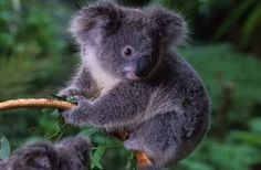 Its just so cute I just had to post!<3 This is a koala! It only lives in Australia in the rainforest. Its so friendly and cute and is a attraction to people!