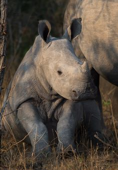 Funny Wildlife, this-is-wild: Baby rhino taking a break(Andrew...