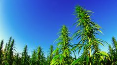 It has been eight decades since U.S. drug laws made growing hemp in American soil illegal.