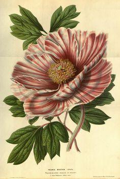 Paeonia moutan. Flore des serres et des jardins de l'Europe v.7 (1851-52). A Gand :chez Louis van Houtte, éditeur,1845-1880. Biodiversitylibrary. Biodivlibrary. BHL. Biodiversity Heritage Library