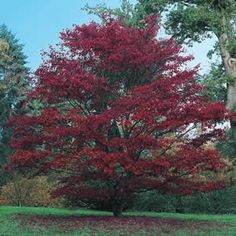 The 'Bloodgood Maple' is the most poplar cultivar of the Japanese Maple tree.Bloodgood maple is a wonderful addition when considering landscaping.The bloodgood japanese maple tree holds it's color better thur the summer than most. Japanese Maple Varieties, Japanese Red Maple, Trees And Shrubs, Flowering Trees, Trees To Plant, Bloodgood Japanese Maple, Red Oak Tree, Baumgarten, Acer Palmatum