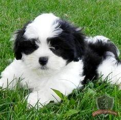 Mal-Shi puppy - Alex