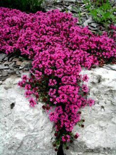 Great florida ground cover - Google Search