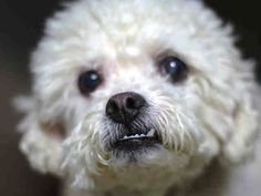 SUPER URGENT - 02/18/15 Manhattan Center  FITZ GRANT - A1028146  NEUTERED MALE, WHITE, POODLE MIN MIX, 8 yrs STRAY - STRAY WAIT, NO HOLD Reason STRAY  Intake condition GERIATRIC Intake Date 02/17/2015, From NY 10466, DueOut Date02/20/2015,