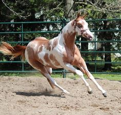 Red Dun Paint Horse red dun tobino paint horse  horse color galore: pattern ...