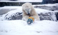 Humphrey, our polar bear cub, will be embarking on an exciting journey to his new home at Assiniboine Park Zoo in Winnipeg. oin us now through February 16 2015 to say farewell to Humphrey before he embarks on this exciting, new adventure.  #polarbear #polarbearcub #Humphrey #torontozoo #wildlife