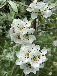 Weeping Silver pear blossom - so beautiful!
