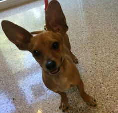 Meet Taco a Petfinder adoptable Dachshund Dog | Largo, FL | Hi my name is Taco. I am a Chihuahua/dachshund mix (chiweenie). I'm fully grown so I won't get any...