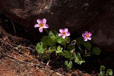 Oxalis obliquifolia - Wikipedia Wood Sorrel, Planting Flowers, Wild Flowers, Ethiopia, South Africa, Plants, Wildflowers, Plant