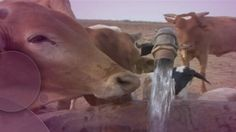 Quenching their thirst