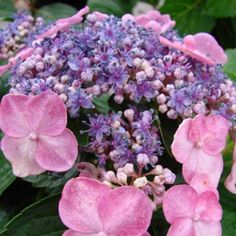 Image result for Twist and Shout Hydrangea
