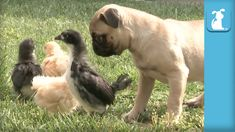 nice Pug Puppy Meets Easter Chicks For First Time - Puppy Love Pug Puppies, Pugs, Egg Hunt, Puppy Love, Funny, First Time, Cute Animals, Easter, Viral Videos