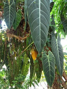 O Philodendron melanochrysum é uma belíssima trepadeira herbácea originária das Florestas úmidas da Colômbia que ficou conhecida po...