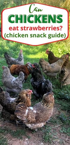 Ever wondered can chickens eat strawberries? Find out what treats are safe and what treats are unsafe when keeping chickens. #homesteadanimals #raisingchickens #homesteadlife Chicken Snacks, Chicken Eating, Canned Chicken, Keeping Chickens, Raising Chickens, Raising Goats, Egg Incubator, Baby Chicks, Chickens Backyard