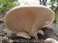 Cap of Pleurotus cornucopiae