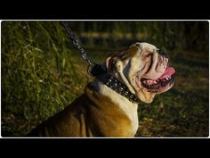 """English Bulldog looks awesome in """"Four-Pawed Charm"""" Leather Dog Collar with Spikes and Studs Leather Dog Collars, Spikes, Pitbulls, Studs, Charmed, The Incredibles, English, Awesome, Dogs"""