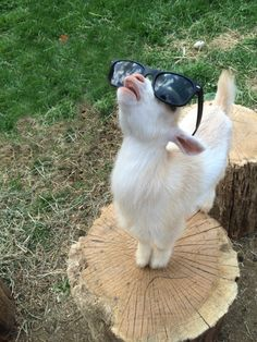 "A Young Goat:  ""You cannot 'Kid' around with the sun's powerful rays you know!  Eye protection is essential!  And I enjoy being: The Cool 'Kid' around here!"""