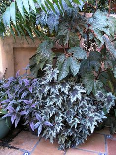The tall, thick-stemmed begonia is B. 'Paul Hernandez'.  Bottom center is upright rhizomatous Begonia 'Little Brother Montgomery'.  The purple plant to the left is 'Persian Shield' (Strobilanthes dyerianus), not a begonia.