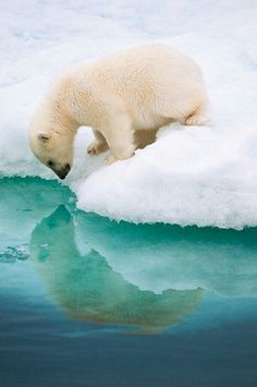 A fantastic photo shot of a young polar bear curious about his reflection~
