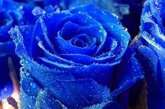Blue Rose rosas flores azules naturales