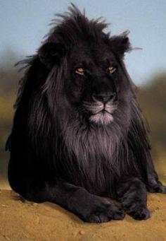 Un leon negro...sera un truco?  Black lion