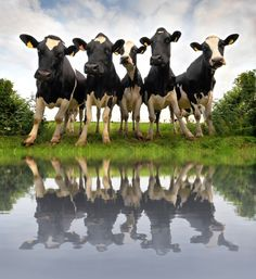 Curious Cows in Reflection
