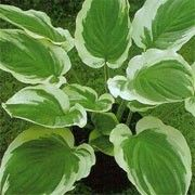 Hosta 'Blazing Saddles'. Click image to learn more, add to your lists & get care reminders.    Other names: Plantain lily 'Blazing Saddles'    Genus: Hosta    Variety or cultivar: 'Blazing Saddles' _ 'Blazing Saddles' is a clump-forming herbaceous perennial, bearing oblong to ovate, dark green leaves with wide, creamy white margins, which develop a rippled edge with age. In summer, it bears spikes of lavender, bell-shaped flowers on upright stems.