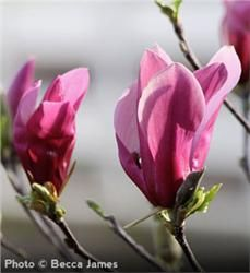 Jane Magnolia - $8.98 - This hardy tree shines with its beautiful, lightly fragranced, tulip-shaped reddish purple-pink blooms (the flowers open in late spring, avoiding frost damage). #gardening #landscape