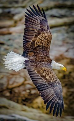 The Bald Eagle - finest of all the Eagles! The Eagles, Types Of Eagles, Bald Eagles, Pretty Birds, Beautiful Birds, Animals Beautiful, Cute Animals, Majestic Animals, Beautiful World