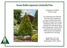 Green Bullet Japanese Umbrella Pine Sciadopitys verticillata 'Gruene Kugel'is an outstanding new selection from Germany noted for its compact well branched habit. Rounded in shape when young…